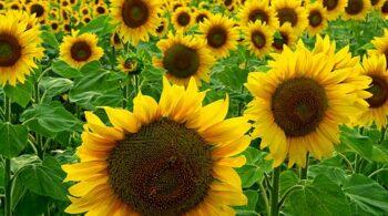 Sunflowers_(44662222)
