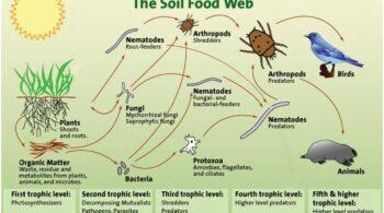 diagram – soil food web