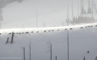 JctButteRidgeLine_Junction Butte Pack Wolves – Lamar Valley – Yellowstone National Park