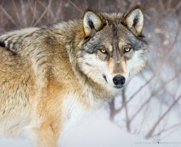SteadyGazeCAPTIVE.Ambassador wolf Boltz – International Wolf Center – Ely