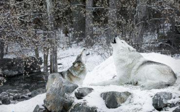 WintersSongCAPTIVE.Ambassador wolves Boltz (L) and Denali – International Wolf Center – Ely